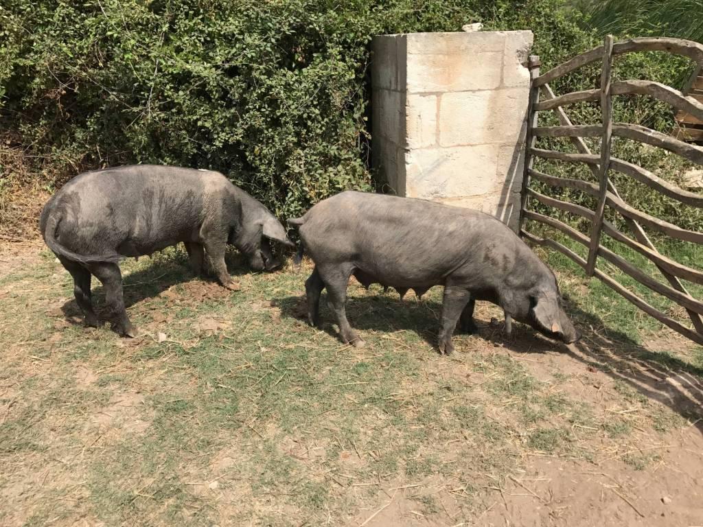 Minorque cami cavalls porcs