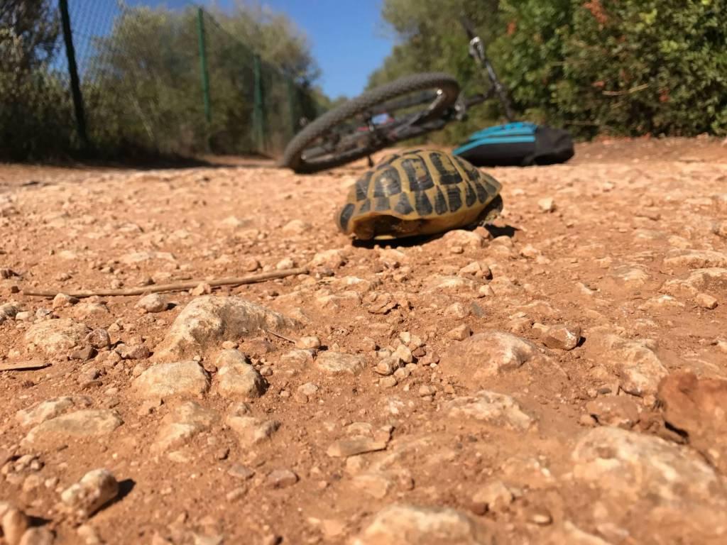 Minorque cami cavalls tortue
